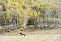 A Horse grazing in autumn prairie with birch trees Royalty Free Stock Images