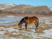 Horse grazing on the bank of a frozen river stock images