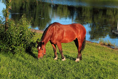 Horse grazing on the Bank of the river in the evening Stock Photography