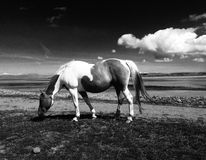 Horse Grazing. Black and white image of horse Royalty Free Stock Photo