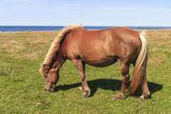 Horse grazing bye the sea. Horse grazing on a beach meadow Royalty Free Stock Image