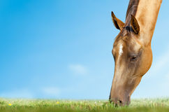 Horse grazing closeup Stock Photos