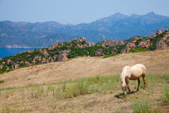 Horse grazing on coastal hills of Corsica in summer Royalty Free Stock Images
