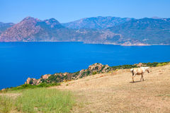 Horse grazing on coastal hills of South Corsica Stock Photo