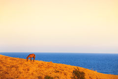 Horse grazing in a coastal pasture Stock Photography
