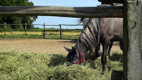Horse grazing in a coral hay piglets pass in the distance. Sunny day on a farm stock footage
