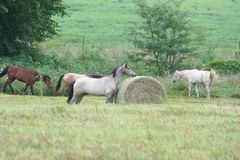 Horse grazing in countryside. Group of horses stood around hay bale grazing in countryside field royalty free stock image