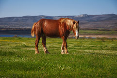 Horse grazing at dawn. Horse grazing in the mountains at dawn at the lake Royalty Free Stock Image