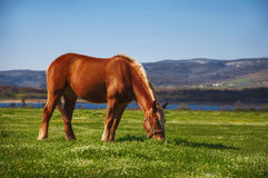 Horse grazing at dawn. Horse grazing in the mountains at dawn at the lake Stock Photography