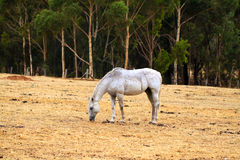 Horse Grazing on dry grass in sloped paddock Stock Image