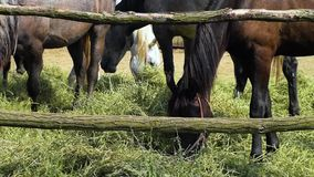 Horse grazing eating feeding in a coral hay stock video footage