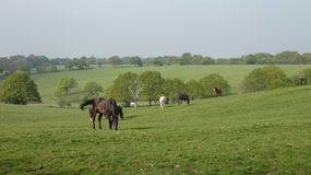 Horse 13 grazing in an English pasture on a beautiful morning stock photography