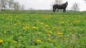 Horse grazing Farm Field stock footage