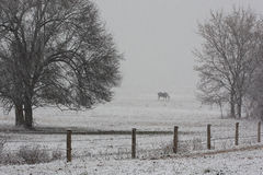 Horse grazing on a farm in a winter snowstorm Stock Images