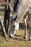 Horse Grazing by a Fence Stock Photography