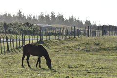 Horse grazing fenced area Stock Photography