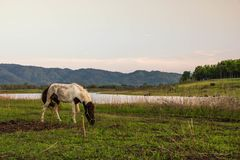 Horse is grazing in the field. A horse is grazing in the field Royalty Free Stock Photography