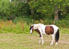 Horse grazing in a field Royalty Free Stock Photo