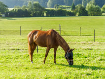 Horse grazing in field Stock Photography