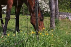 Horse grazing in field. Side portrait of brown horse grazing in countryside field by fence Royalty Free Stock Photos