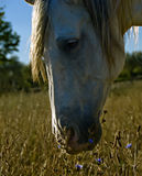 Horse grazing in field Royalty Free Stock Photo