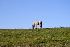 Horse grazing on field. Scenic view of horse grazing on field with blue sky background Royalty Free Stock Photos