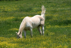 Horse grazing in field. White horse grazing in field with tail up in air stock photo