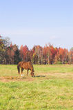 Horse grazing in field Royalty Free Stock Photography