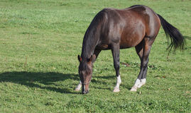 Horse grazing in field stock image