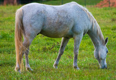 Horse grazing in field. Gray horse grazing in field in countryside Royalty Free Stock Image