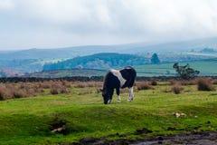 Horse grazing Royalty Free Stock Photos