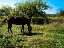 Horse grazing in the field. Animals in the summer horse grazing in the field Royalty Free Stock Photo
