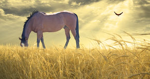 Horse grazing in field Stock Images
