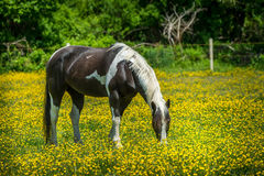Horse grazing in a field Stock Image