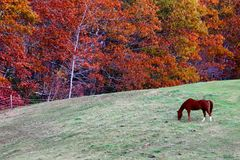Horse grazing in field with fall foliage. Countryside wholesome farm fall seasonal leaves autumn maine newengland Stock Image
