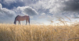 Horse grazing in field. Horse grazing in grain field Stock Photo