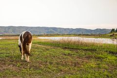 Horse is grazing in the field. A horse is grazing in the field Royalty Free Stock Photo