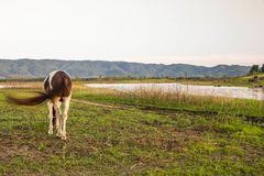 Horse is grazing in the field. A horse is grazing in the field Stock Image