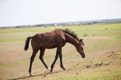 Horse grazing on the field stock images