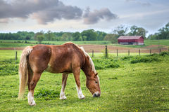 Horse grazing in a field on a Maryland farm in Spring stock image