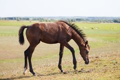 Horse grazing on the field stock image