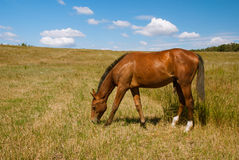 Horse grazing on field, Ukraine. Beautiful brown steed grazing on field, Ukraine stock photos
