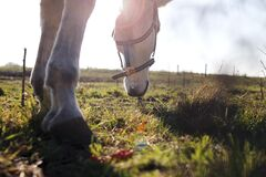 Horse grazing in filed Royalty Free Stock Images