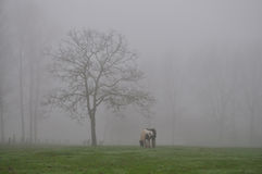 Horse grazing in the fog Stock Image