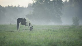 Horse grazing on a foggy pasture next to a forest stock footage