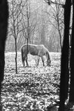 Horse grazing in the forest, black and white monochrome Stock Photo