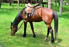 Horse grazing in the forest Royalty Free Stock Images