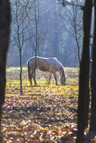 Horse grazing in the forest Royalty Free Stock Photography