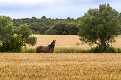 A horse grazing freely beside a wheat field Royalty Free Stock Photos
