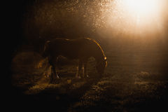 Horse grazing on glade at evening sun rays Stock Images